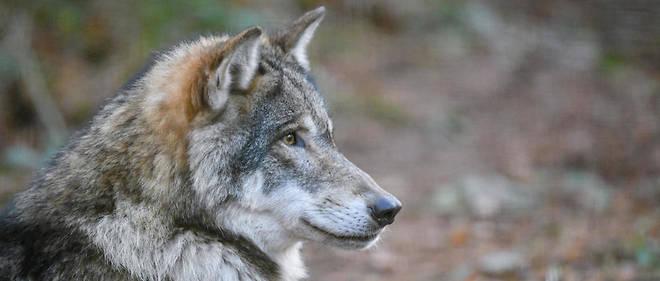 Le loup a fait une réapparition naturelle en France au début des années1990 (illustration).