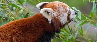 « Le petit panda semble en bonne forme et ne pas avoir souffert de son séjour à l'extérieur du parc même si il a un petit peu maigri », selon levétérinaire du parc, le Dr Jean-Christophe Gérard.