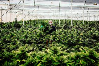 Culture de plants dans une ferme de cannabis, en Israël. Le Canada, l'Australie, les Pays-Bas, l'Italie, la Finlande ou encore l'Allemagne ont légalisé l'usage du cannabis médical.