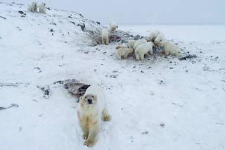 Les villageois alimentent les ours avec des cadavres de morses.