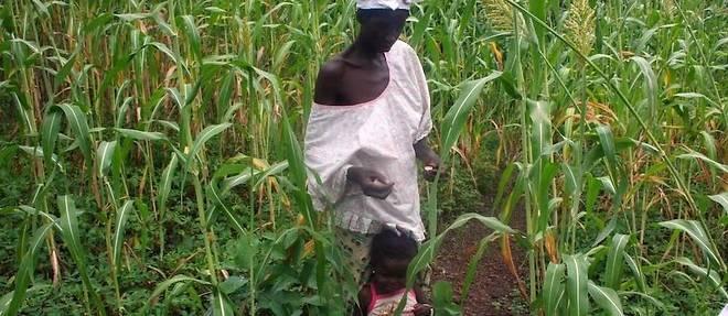En Afrique, particulièrement dans le Sahel, le mil et le sorghoreprésentent plus de 30% de la production céréalière globale de ces pays.