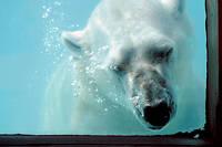 Le zoo d'Amnéville aurait essayé de se débarrasser du cadavre d'un de ses ours polaires, le regretté Olaf, dans une déchèterie. Photo d'illustration.
