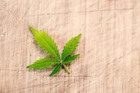 La production et la vente de cannabis light, c'est-à-dire ne contenant pas plus de 0,5 % de THC, a été autorisée par le Parlement italien dans la nuit de jeudi à vendredi (photo d'illustration).
