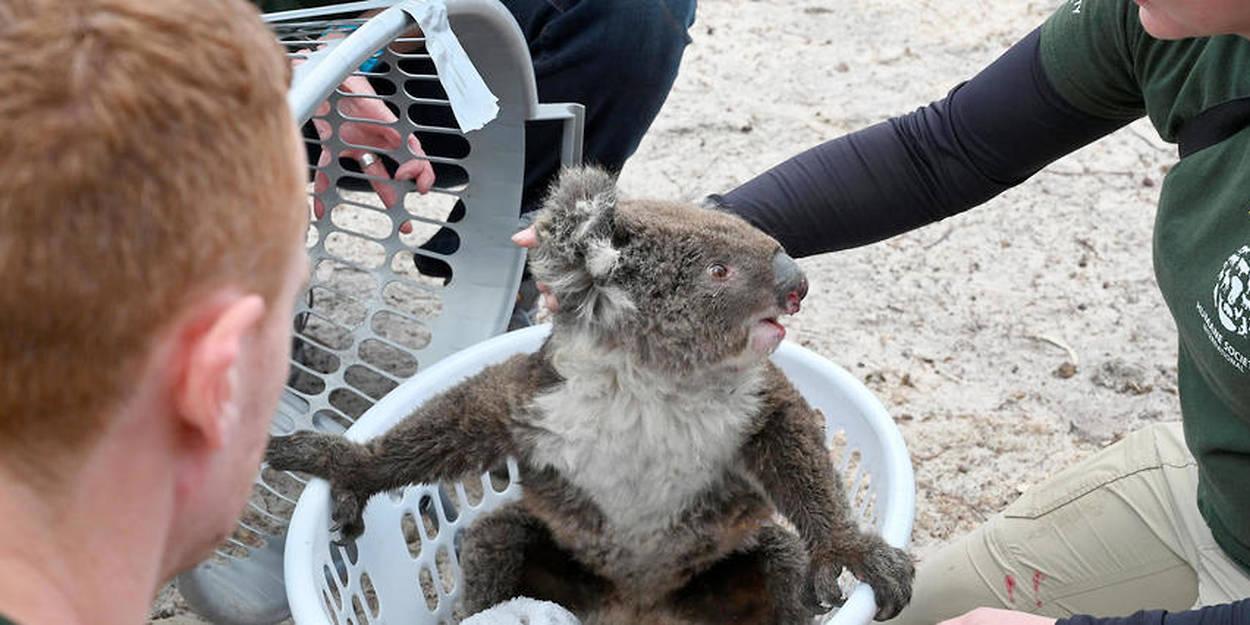 """Résultat de recherche d'images pour """"koala australie"""""""