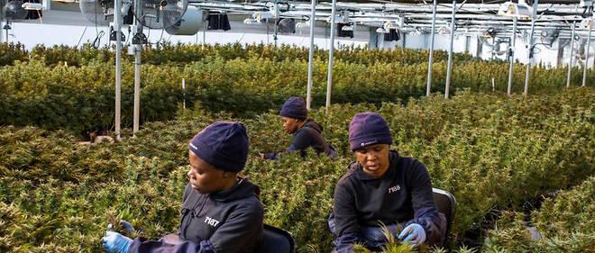 Comme ici au Lesotho, bientot le cannabis sera recolte au Malawi.