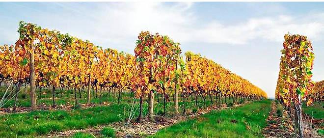 Vigne de Saint-Pourcain