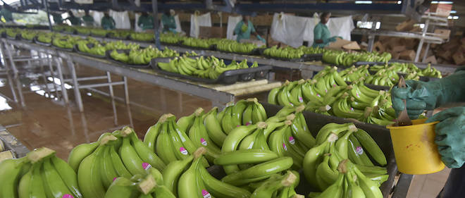 An employee of Eglim company works in a banana plantation factory in Anyama, near Abidjan, on September 21, 2019. - African banana-producing countries called on September 20, 2019, in Abidjan for a new regulatory mechanism to replace the European Union's support that ends in 2019, in the face of Latin American competition. (Photo by Sia KAMBOU / AFP)