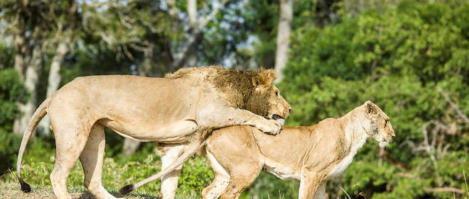 Accouplement de lions.