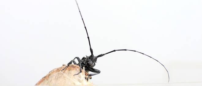 Anoplophora glabripennis, el escarabajo asiático de cuernos largos o capricornio asiático, es una especie de insectos coleópteros.