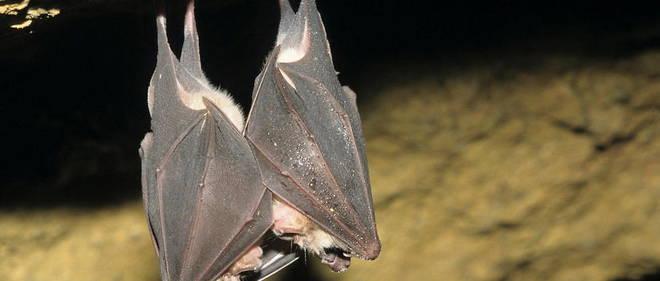 Rhinolophus ferrumequinum / Grand rhinolophe / Great Horseshoe Bat (C)ARTHUR L./HorizonFeatures/Leemage