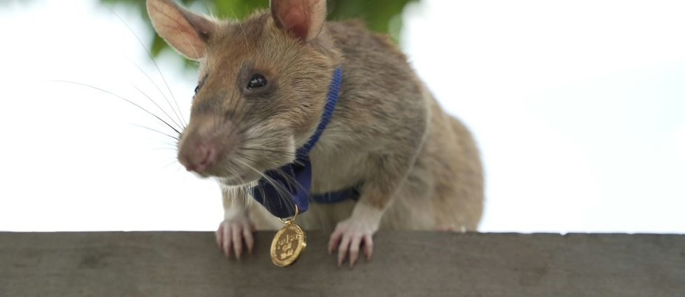 Au Cambodge, un rat detecteur de mines prend une retraite bien meritee