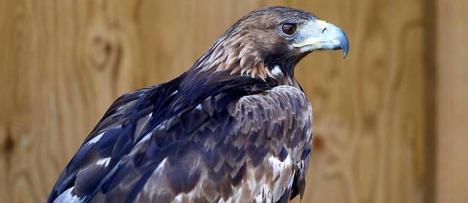 Les naissances d'aigles royaux, espece menacee par l'homme, sont de plus en plus rares. (Photo d'illustration)