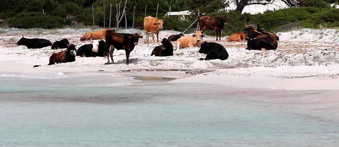 Les vaches ont investi certaines plages dans le nord de la Corse.